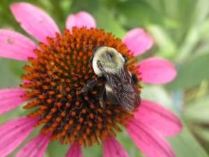 Bumblebee and Echinacea