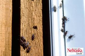 Boxelder Bugs around a window.