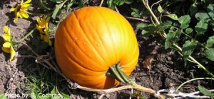 Don't forget about the pumpkins. Photo courtesy of Lancaster County Extension