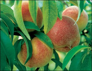 Redhaven peach- photo courtesy from extension.missouri.edu