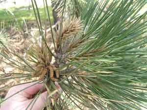 Sphaeropsis tip blight
