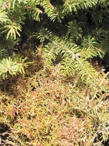 Winter Desiccation Damage on Dwarf Alberta Spruce