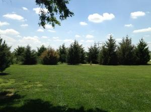 Cedar Tree Windbreak
