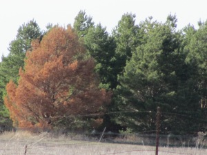 Tree on the far left was killed by pine wilt.  The others quickly became infested.