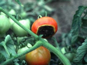 Learn about vegetable gardening methods, rots & spots, and produce safety practices