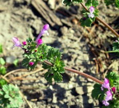 Henbit- a winter annual