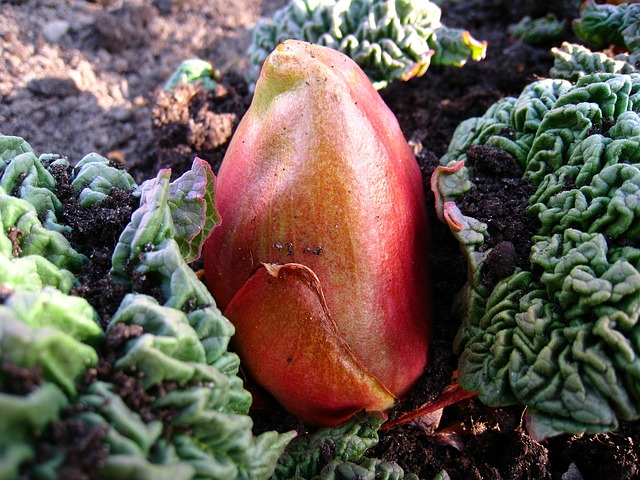 rhubarb-140865_640