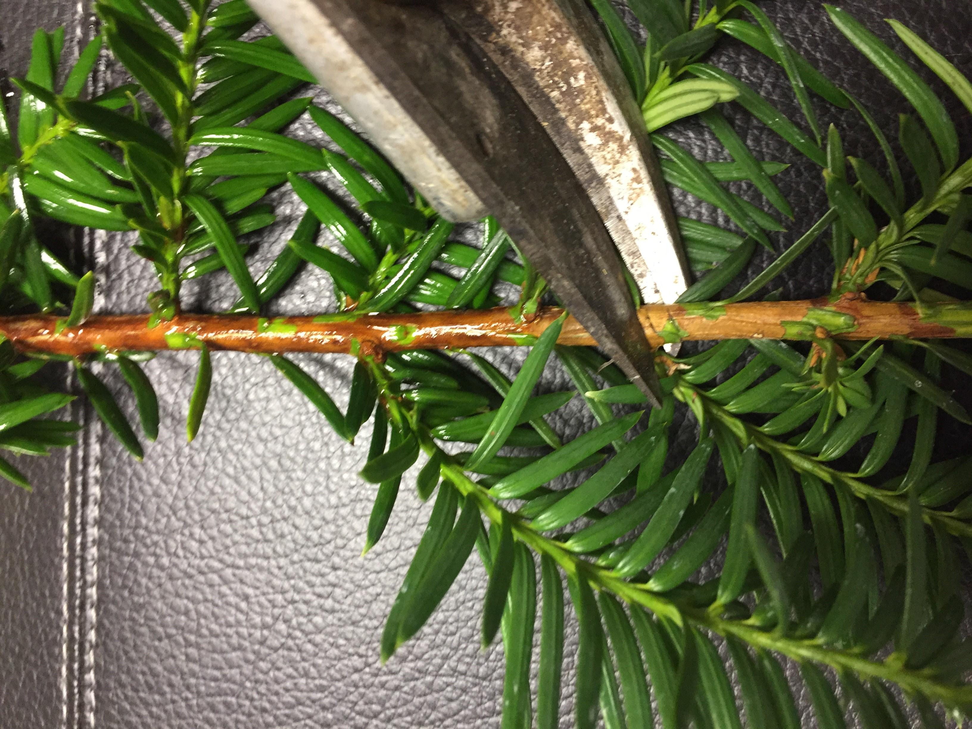 Pruning yew