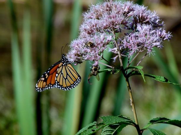 monarch-2811177_1920