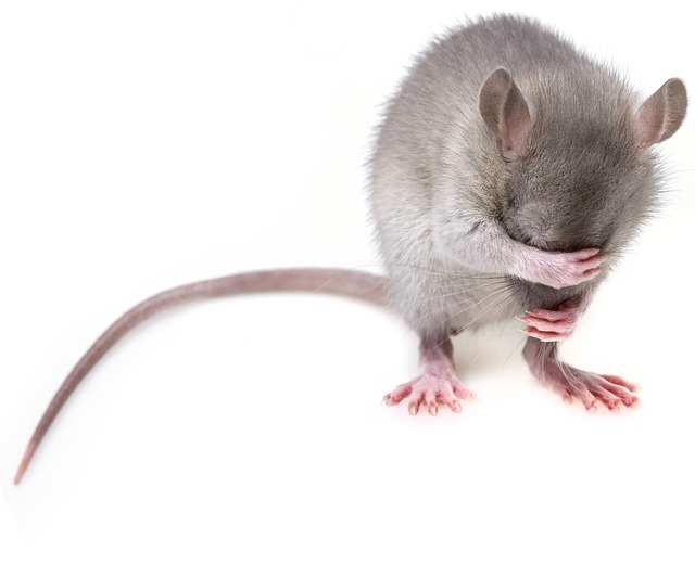mouse-3194768_640
